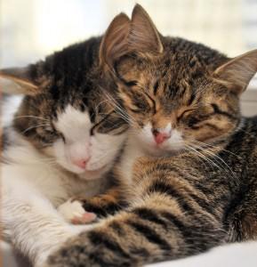 Divi kaķi - Kartiņas ar dzīvniekiem 22