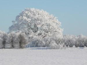 Koki ziemā - Ziemas kartiņa 18