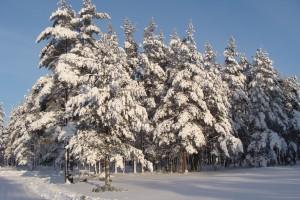 Egles ziemā - Ziemas kartiņa 25