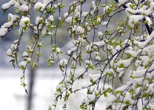 Bērzs pavasarī - Pavasara kartiņa 10