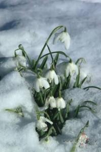 Sniegpulkstenītes - Pavasara kartiņa 2