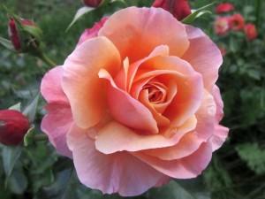 Kartiņas ar ziediem 28