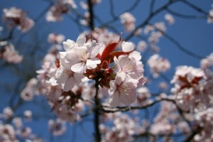Ābeļziedi - Pavasara kartiņa 5