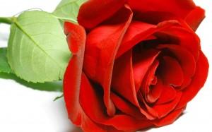 Sarkana roze - Kartiņas ar ziediem 63