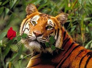 Tīģeris ar rozi - Kartiņas ar dzīvniekiem 2