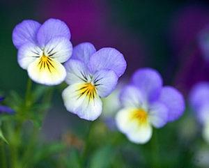Atraitnītes - Kartiņas ar ziediem 10
