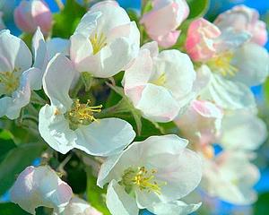 Ābeles ziedi - Kartiņas ar ziediem 11