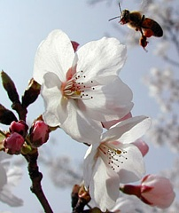 Bite un ābeļziedi - Kartiņas ar ziediem 15