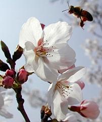 Bite un ābeļziedi