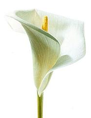 Kallas zieds - Kartiņas ar ziediem 29