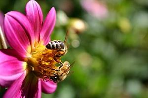 Bites uz puķes