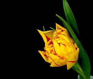 Tulpe - Kartiņas ar ziediem 22