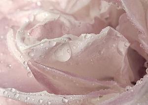 Rasa uz rozes ziedlapiņām