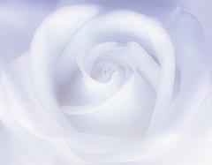 Balta roze - Kartiņas ar ziediem 12