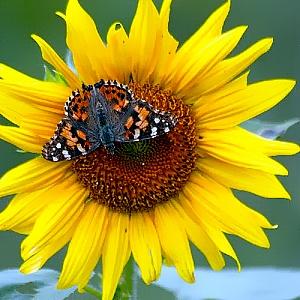 Taurenis uz saulespuķes
