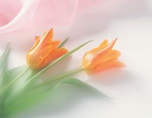 Oranžas tulpes - Kartiņas ar ziediem 19