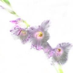 Kartiņas ar ziediem 43
