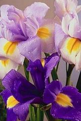 Kartiņas ar ziediem 13