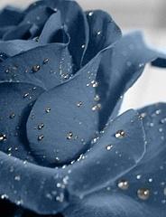 Zila roze tuvplānā