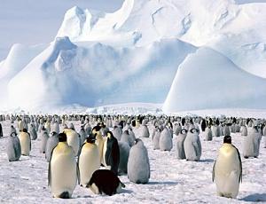 Pingvīni - Ziemassvētku kartiņa 14